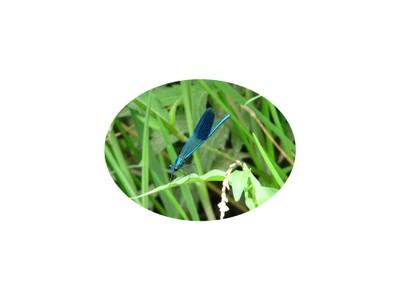 Libelle_oval