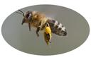 Pollenflug_oval