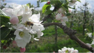 apple pollination.jpg
