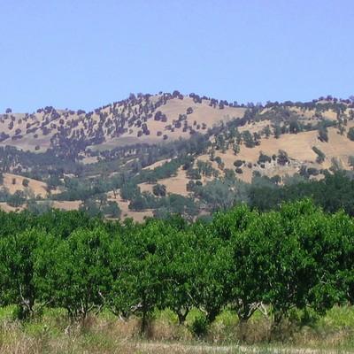 mandelplantage_im_capay_valley_kalifornien_a_klein.jpg