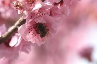 HB_peach_flower_2014