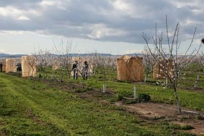 Alex Pers Mandelplantage mit Käfigen um Bestäuber von den Blüten auszuschließen_CA_2008_A Klein.jpg