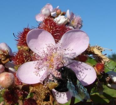 Eulaema nigrita is a native annato pollinator_Brasil.jpg