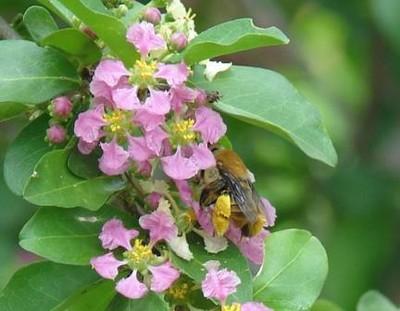 Oil-collenting Centris bees are effective pollinators of  acerola flowers_Brasil.jpg