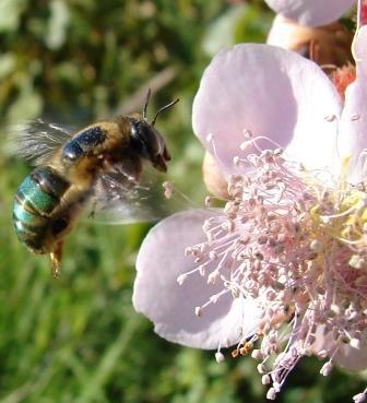 Oxaea sp hovering in front an annato flower.jpg