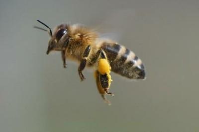 Pollenflugbiene