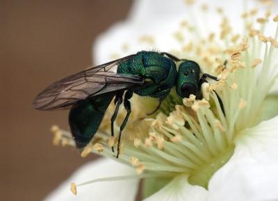 Hymenoptera Fornoff (4).jpg